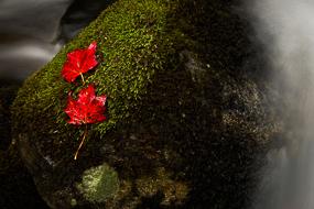 Feuilles d'érables rouges, sur leur lit de mousse, dans des rochers au milieu d'un tourbillon d'eau - Jefferson Notch Road, White-Mountains National Forest, New-Hampshire, USA