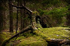 Mousse sur arbre couché, Pretty March Road, Acadia National Park, Maine, USA