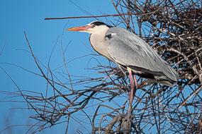 Grand héron, Parc ornithologique du Pont de Gau, Camargue