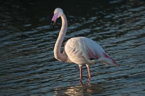 Flamant rose, Parc ornithologique de Pont de Gau, Camargue