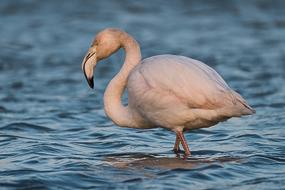 Jeune flamant rose, Parc ornithologique du Pont de Gau, Camargue