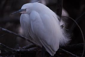Jeune aigrette garzette, Parc ornithologique de Pont de Gau, Camargue