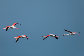Flamants roses en vol, Camargue