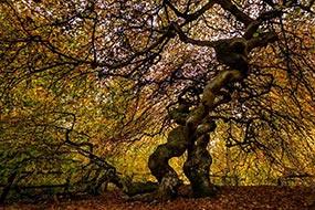 Hêtre tortillard en automne, dans la forêt des Faux de Verzy, à proximité de Reims.