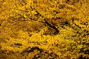 Feuillage jaune, Mont Orford, Québec