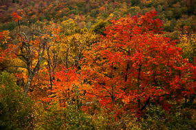 Erables rouges, Mont Orford, Québec