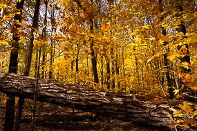 Arbre couché, en automne, Bois Beckett, Sherbrooke, Québec