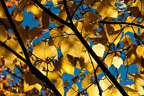 Feuilles d'érables jaunes, New-Hampshire, USA
