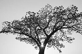 Raies de lumière sur un Baobab, près d'Epupa, Namibie 2004