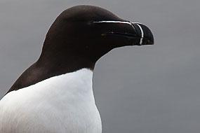 Pingouin Torda sur les falaises de Latrabjarg, Islande