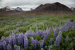 Lupins dans les Fjords de l'Ouest, Islande
