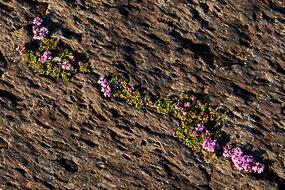 Fleurs incrustées dans la roche, Péninsule de Snæfellsnes, islande