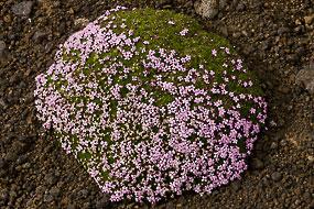Fleurs dans les graviers volcaniques, Péninsule de Snæfellsnes, Islande