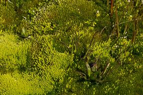 Algues et végétion vivant dans les eaux volcaniques, Hveravellir, Islande