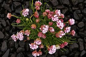 Fleurs dans les caillous noirs, Islande