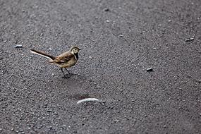 Petit oiseau, Vik, Islande