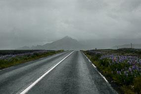 Lupins sur la route N°1, Islande