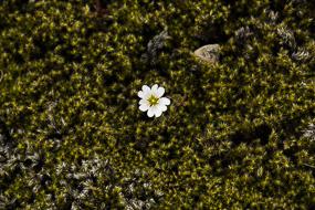 Fleur isolée, F208, Islande