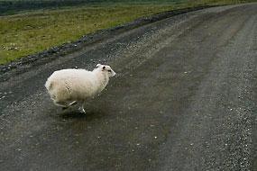 Mouton qui traverse devant la voiture, F208