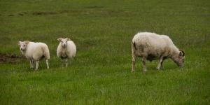 Moutons sur la F206, Islande