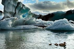 Famille d'eiders à duvet nageant devant des icebergs sur le lac de Jokulsarlon, Islande