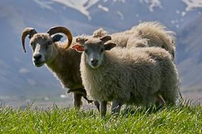 Moutons, Fjords de l'Est, Islande
