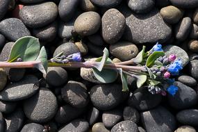 Fleur poussant à l'horizontale pour survivre malgré le vent, Fjords de l'Est, Islande