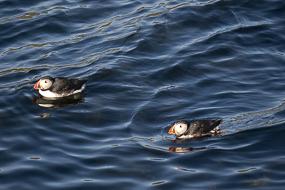 En période de nidification, les Macareux Moine vivent le long de la côte. Islande