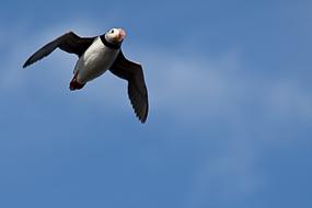 En période de nidification, les Macareux Moine vivent le long de la côte, Islande
