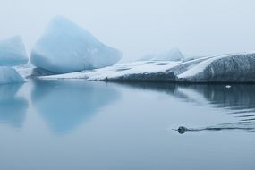 Phoque nageant au mileu des icebergs du lac de Jokulsarlon, Islande