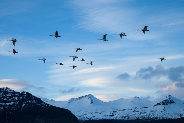 Le soir, les cygnes s'envolent en formation, sud de l'Islande
