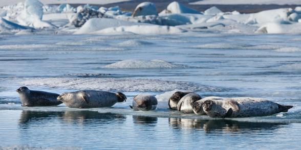 Phoques se reposant au soleil, sur une plaque de glace de la lagune glaciaire du Jokulsarlon, Islande