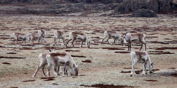 Le pelage des rennes se confond avec l'herbe jaune de ce plateau où ils paissent en hiver, Islande