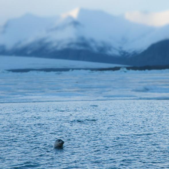Tête de phoque émergeant de la lagune glaciaire de Jokulsarlon