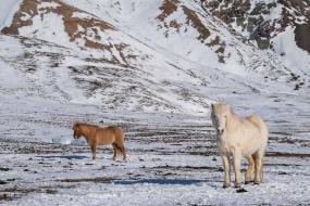 Les chevaux Islandais restent dehors en hiver, ils sont très résistants.