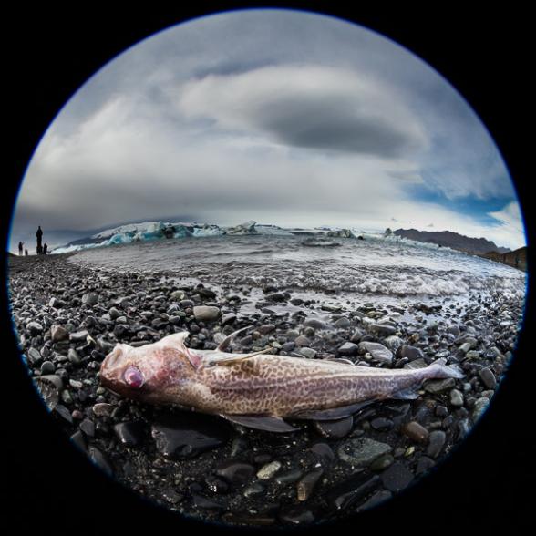 Poisson échoué à proximité de la lagune glacière de Jokulsarlon, Islande