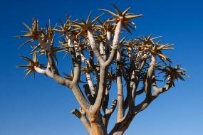 Arbre à carquois (Kokerboom) - Namibie