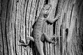 Lézard sur souche d'arbre, Utah, USA, 2007