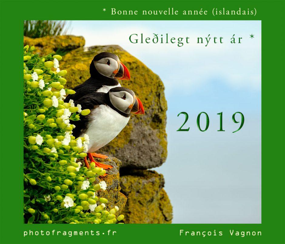 Macareux en Islande sur les falaises de Latrabjarg - Voeux 2019